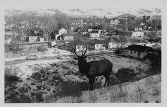 Elk on hillside in #Pocatello, #Idaho - February 11, 1950 | Visitidaho.org