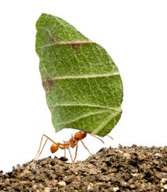 April is mating season for winged pairs of Texas leafcutter ants. After mating, the male dies and the female, who bears a bit of fungus from the parent colony, loses her wings and becomes the queen of a new colony.