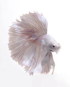 #fishtank #aquarium #freshwater #aquariumplants #aquaticplants #aquascape Photograph DSC_4510.jpg by visarute angkatavanich on 500px