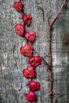 Heart shaped leaves   Flickr - Photo Sharing!