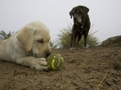 Black Labrador Watching a White Labrador Puppy Chewing a Ball