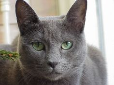 Russian Blues are active but not annoyingly so. Description from pinterest.com. I searched for this on bing.com/images