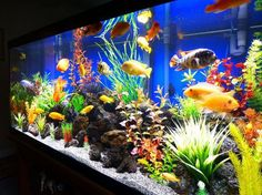 Colorful 75 Gallon Cichlids in a fresh water tank Cichlid Aquarium, Diy Aquarium, Aquarium Design, Planted Aquarium, Fish Aquarium Decorations, Aquarium Fish Tank, Fish Aquariums, Aquarium Ideas, Cool Fish Tanks