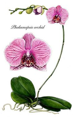 scientific illustration-orchid by `blue-fish on deviantart
