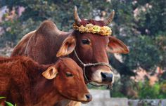 Flower crowned cow with her calf in Orchha, India