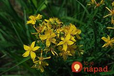 Herb of the Month: Saint Joan's/John's Wort (Hypericum perforatum) Herbal Remedies, Natural Remedies, Severe Insomnia, Herbs For Sleep, Tea Before Bed, Herbs For Anxiety, Herbs List, St Joan