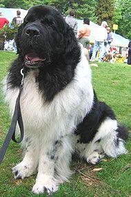 Newfoundland dog                                                                                                                                                                                 More