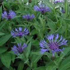 Centaurea montana -