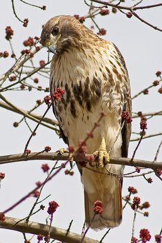 mountain vagabond Hawk
