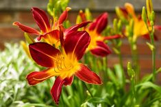 Proven Winners - Rainbow Rhythm® 'Ruby Spider' - Daylily - Hemerocallis hybrid red plant details, information and resources. Full Sun Flowers, Amazing Flowers, Purple Flowers, Fall Flowers, Evergreen Shrubs, Flowering Shrubs, Trees And Shrubs, Full Sun Perennials, Flowers Perennials
