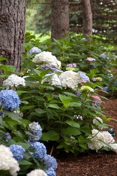 Endless Summer Blushing Bride Bigleaf Hydrangea requires 3 to 6 hours morning sun.