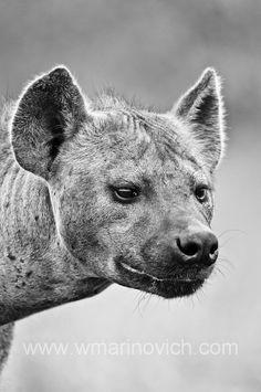 http://www.wmarinovich.com/wp-content/uploads/2012/07/080-spotted-hyena-kruger-Marinovich-wildlife-photography.jpg
