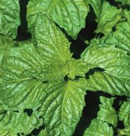 """Lettuce leaf"" type with huge, frilly leaves.    Spicy, traditional basil flavor. Leaves are up to 4"" long and tend to be lighter in color than other pesto types. Ht. 14-16"". 75 days to harvest."