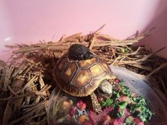 These were my 2 turtles that I rescued found both wild. One was far from home The tortoise, baby was on a sidewalk covered in ants took care of them then found a rightful owner for them. I love turtles. Tortoise name was Aristotle Van Gogh and baby turtle's name was panic at the disco.