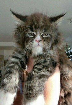 Maine Coon-Such a face! I've never seen a Maine Coon like this one before. It looks like it's part bobcat. Heavily part bobcat. Animals And Pets, Baby Animals, Funny Animals, Cute Animals, Funniest Animals, Pretty Cats, Beautiful Cats, Animals Beautiful, I Love Cats