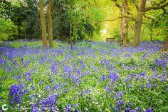 Dorothy Clive Garden Bluebells
