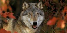 Ces tirs de prélèvement ne servent à rien et sont même contre-productifs : si on tue un loup dominant dans la meute, celle-ci risque de se déstructurer et de commettre plus d'attaques.