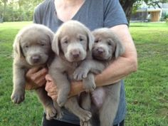 Silver Labradors for Sale from Silver and Charcoal Kennels