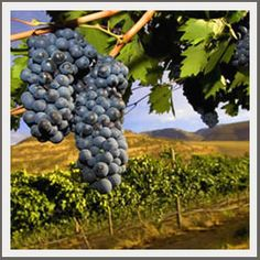 Our experienced wine tour limousine chauffeurs take care of everything so you can sit back, relax, and enjoy the scenery and fine wine. Growing Grapes, Vitis Vinifera, Party Bus, Wine Cheese, Fine Wine, Wine Drinks, Wine Tasting, Rum, Oregon