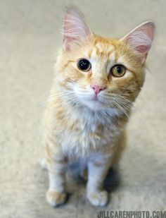 GREAT CAT....Oliver was found after he was struck by a car. He suffered some minor head trauma which left one of his eyes dilated. The vet said it may return to normal and it may not. Either way Oliver is still an absolutely stunning DMH orange boy...