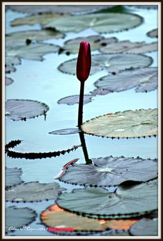 A Lotus - Photography by Abner Corpus in My creations... at touchtalent 70461
