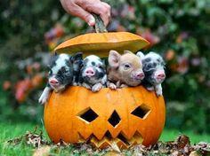 Piglets first Halloween