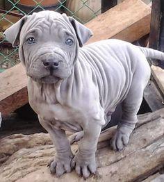 Thai Ridgeback Blue Puppy