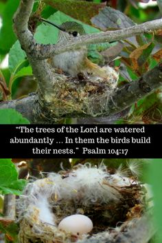 Broad-Tailed Hummingbird build nest in tree as God planned, Psalm 104:17.