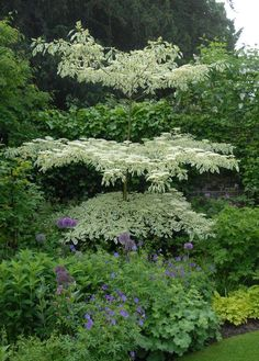 Cornus controversa (wedding cake tree) at Raworth Gardens, UK.never seen a vigorous one in Southern USA Deciduous Trees, Trees And Shrubs, Flowering Trees, Trees To Plant, Garden Shrubs, Garden Trees, Shade Garden, Garden Landscaping, Moon Garden