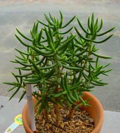 Crassula tetragona...can pop up everywhere in the garden. It's easy to remove the unwanted new plants , though I now confine my plant to a pot.