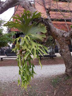 Platycerium coronarium (Mull.) Desv. Polypodiaceae-staghorn fern, elkhorn fern, ห่าข้าวสีดา, ชายผ้าสีดา