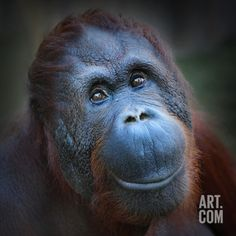 Find Happy Smile Bornean Orangutan Pongo Pygmaeus stock images in HD and millions of other royalty-free stock photos, illustrations and vectors in the Shutterstock collection. Thousands of new, high-quality pictures added every day. Smiling Animals, Happy Animals, Cute Animals, Bornean Orangutan, Chimpanzee, Primates, Farming In Canada, Animal Traits, Save The Orangutans