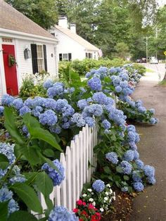 A white picket fence, red doorway, and blue hydrangeas! - Front Yard Ideas