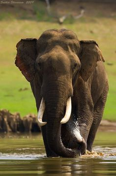 Asian Elephant (all elephants are endangered)You can find Indian elephant and more on our website.Asian Elephant (all elephants are endangered) Elephant Pictures, Elephants Photos, Save The Elephants, Baby Elephants, Asian Elephant, Elephant Love, Elephant Art, Animals Of The World, Animals And Pets