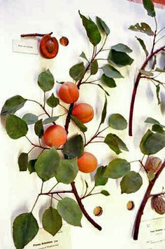 Prunus armeniaca,  life-sized branch of an apricot in fruit, make in glass, Harvard  i