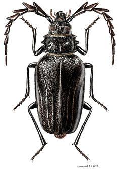 Psilotarsus brachypterus pubiventris (Cerambycidae)
