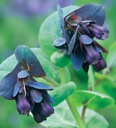 Cerinthe major 'Purpurascens' (Honeywort) has silvery leaves with purple hanging bells, one of the best foliage plants. I absolutely love this and it gently self-sows, so you never need buy it again. Fall Plants, Foliage Plants, Garden Plants, Potager Garden, Flowering Plants, Hanging Plants, Indoor Plants, Beautiful Gardens, Beautiful Flowers