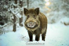 Little wild boar by Joakim Gudmunds, via 500px