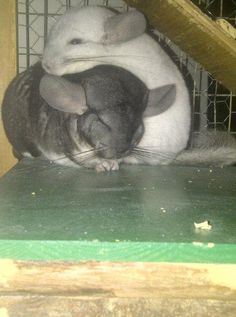 love my chinchillas!