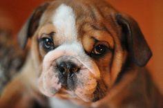 barrister's eclectic eleanor female english bulldog