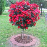 Knock Out® Rose Trees - 3-4 ft.