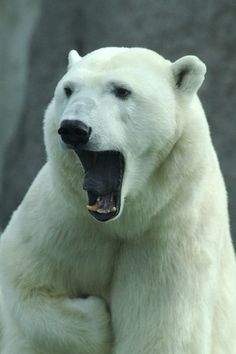#polarbear -- [REPINNED by All Creatures Gift Shop]