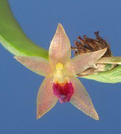 Octomeria medinae
