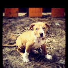 Baby pitbull Baby Puppies, Baby Dogs, Baby Pitbulls, Animal Heros, Hello Kitty Nails, Animals Amazing, Poor Dog, Pit Bulls, Grand Hotel