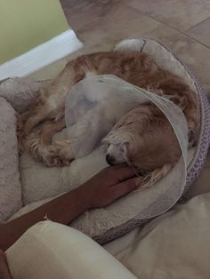 My dog got extensive surgery and she's now recovering this is her being spoiled rotten.