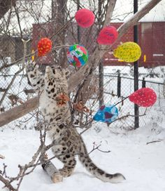 """One of the snow leopard cubs plays with their Christmas present. Today's daily dose of cuteness comes courtesy of the Assiniboine Park Zoo.  A spokesperson for the zoo says volunteers made several """"special"""" gifts for the animals, who enjoyed playing with them — and the treats inside."""