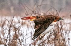 In Flight with a Red Tailed Hawk by images-by-bap-studio on DeviantArt Animal Medicine, Red Tailed Hawk, Cute Birds, Bap, Birds Of Prey, Falcons, Hawks, Little Red, Mists