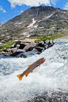 Alaska Trout Photos  – http://fisheyeguyphotography.com/underwater-cutthroat-trout-photography/