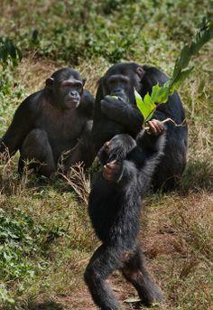 Ngamba Island, Chimpanzee Sanctuary & Wildlife Conservation Trust, Uganda