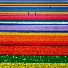 Colorfull fields, Netherlands